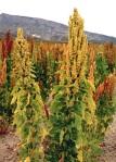 Plante de Quinoa