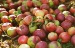 Pomme (Toutes régions France)